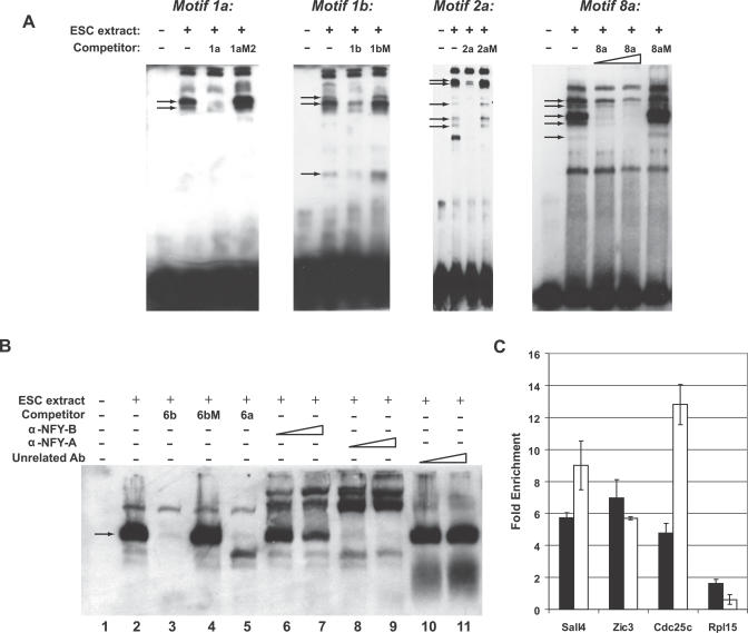 Proteins Present in ES Cells, Including NF-Y, Bind Sequence-Specifically to the Motifs (A) EMSA using motifs 1a, 1b, 2a and 8a. EMSA was performed with a double-stranded, biotin-labeled oligonucleotide containing the corresponding motif in the absence or presence of ES cell nuclear extracts. Where indicated, ES cell nuclear extracts were preincubated with a 200-fold molar excess of unlabeled competitor double-stranded oligonucleotides. For motif 8a, ES cell nuclear extracts were also preincubated with a 100-fold molar excess of unlabeled competitor double-stranded oligonucleotides. Arrows denote specific bands. (B) EMSA using motif 6. EMSA was performed with a double-stranded, biotin-labeled oligonucleotide containing motif 6b in the absence (lane 1) or presence (lanes 2–11) of ES cell nuclear extracts. ES cell nuclear extracts were preincubated with a 200-fold molar excess of unlabeled competitor double-stranded oligonucleotides (lanes 3–5), increasing amounts of <t>α-NF-YB</t> (lanes 6 and 7), α-NF-YA (lanes 8 and 9), or unrelated antibody (lanes 10 and 11). Arrow denotes the major specific band. (C) ChIP-real time PCR. Chromatin was precipitated from ES cell nuclear extracts using α-NF-YB or unrelated antibody. Data represent fold enrichment in the α-NF-YB precipitation relative to the unrelated antibody precipitation. Cdc25c is a known target of NF-Y [ 65 ] and Sall4 and Zic3 are two of the genes with the highest levels of upregulation in pluripotent cells ( Figure 1 A) that contain consensus NF-Y sites. Rpl15 is a control gene that is not upregulated in ES cells. Black and white bars represent independent experiments performed with different ES cell nuclear extracts.