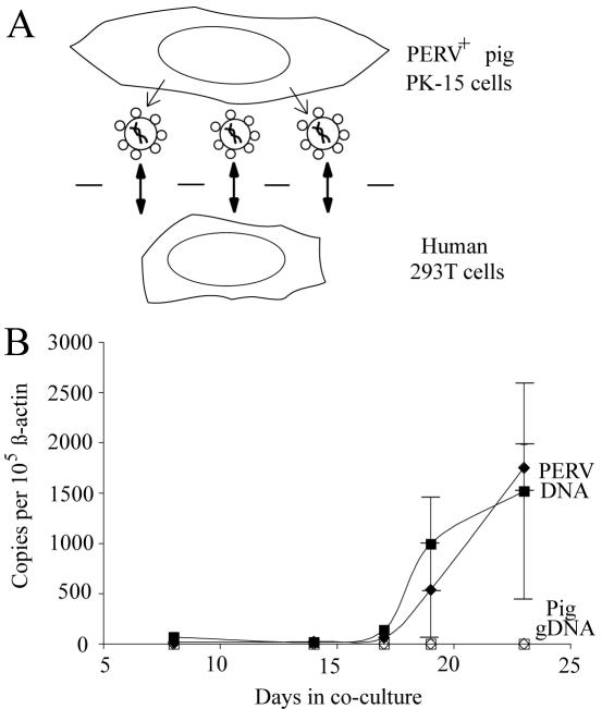 PERV Transmission Assay. (A) Schematic of the co-culture system. PERV transmitting PK-15 cells are grown on top of the membrane of the insert and human 293T cells on the bottom of the well of the culture dish. Virus particles are depicted diffusing through membrane pores. (B) The zoonotic transmission of PERV from PK-15 cells to 293T cells is shown by the time-dependent accumulation of PERV pol gene DNA in the human cells (solid diamonds and squares). No concomitant transfer of pig genomic DNA occurred through the duration of these experiments (open diamonds and squares). This graph summarizes data for two independently derived PK-15 clones, V1 (squares) and V2 (diamonds). All data points were calculated using results from duplicate Q-PCR reactions of genomic DNA from three parallel (but independent) co-cultures. The error bars indicate the SEM. See the Materials and Methods and Online Figure S1 for additional details, representative raw data and controls.