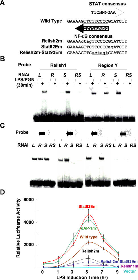 A Stat92E Binding Site on the Attacin-A Promoter Plays a Crucial Role in Down-Regulating Attacin-A (A) Region Y contains an NF-κB binding site and a STAT binding site. The NF-κB consensus and STAT consensus binding sequences are shown along with the wild-type sequence of region Y. The mutant forms of the NF-κB and/or the STAT binding sites of region Y are designated Relish2m, Stat92Em, and Relish2m-Stat92Em, respectively. The mutated sequences are shown in lower case and underlined. (B) Nuclear extracts of SL2 cells pre-incubated with dsRNA for Luciferase (L), Relish (R), Stat92E (S), or both Relish and Stat92E (RS) and treated with 10 μg/ml of LPS/PGN were assayed by EMSAs with 32 P-labeled double-stranded oligonucleotide probes containing Relish1 or region Y. (C) EMSAs with probes containing the wild-type region Y (double arrow), a mutation in the Relish binding site (double arrow with X on the left), a mutation in the Stat92E binding site (double arrow with X on the right) or mutations in both binding sites (double arrow with double X). Black and white arrows indicate the Relish 2 and Stat92E binding sites, respectively, and the mutations are indicated by Xs. Nuclear extracts were as in (B). (D) The dAP-1 and Stat92E promoter elements are required for down-regulation of Attacin-A . SL2 cells transfected with each reporter under the control of a mutant version of the Attacin-A promoter as indicated were treated with 10 μg/ml LPS/PGN for the time indicated on the abscissa. The mean levels of the normalized luciferase activities are shown with standard deviations. These experiments were repeated at least three times independently.