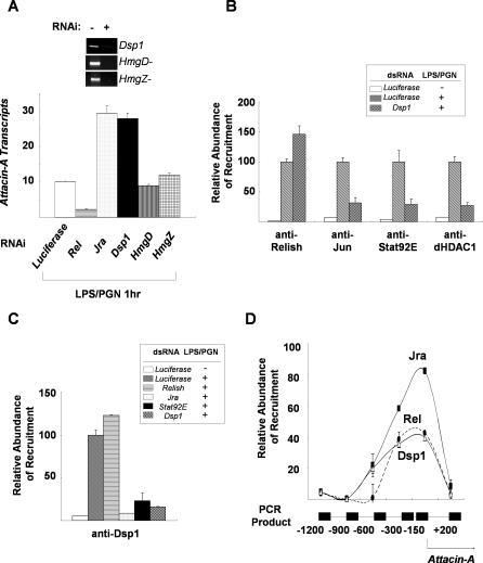 Dsp1 Plays a Crucial Role in the Interactions between Jra and Stat92E (A) Down-regulation of Attacin-A transcripts by HMG protein. Real-time PCR analysis showing Attacin-A transcript levels after 1 h of LPS/PGN treatment of SL2 cells depleted by RNAi of the transcription factors and HMG proteins indicated below the histograms. The levels were normalized with RpL32 transcripts. The extents of depletion of the corresponding transcripts by RNAi are shown in the top panel. (B) Dsp1 is required for binding of Jra, Stat92E, and dHDAC1 to the Attacin-A promoter. SL2 cells were incubated with Luciferase or Dsp1 dsRNA for three days, then used in ChIP assays with (+) and without (−) LPS/PGN treatment (10 μg/ml for 1 h). The amounts of Attacin-A promoter fragments co-precipitated with the antibodies were normalized for the input used in each assay and are shown with standard deviations. These experiments were repeated at least three times independently. (C) Requirement for Jra and Stat92E for recruitment of Dsp1 to the Attacin-A promoter. SL2 cells were depleted of the protein indicated on the right by RNAi, then used in ChIP assays before (−) and after (+) LPS/PGN treatment. The amounts of Attacin-A promoter co-precipitated with anti-Dsp1 antibody in the ChIP assays are shown with standard deviations. These experiments were repeated at least three times independently. (D) The amounts of chromatin fragments co-precipitated with anti-Jun (solid squares), anti-Dsp1 (open triangles) or anti-Relish (solid circles) antibodies in the indicated regions of the Attacin-A promoter were measured by real-time PCR in a Roche Lightcycler, and the averages and standard deviations of three independent experiments are plotted.
