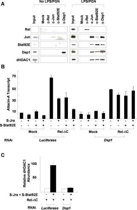 Dsp1 Interacts with Jra and Stat92E to Form a Repressosome Complex (A) Co-immunoprecipitation of Relish, Jra, Stat92E, and Dsp1. Nuclear extracts prepared from SL2 cells with (right panel) or without (left panel) LPS/PGN (10 μg/ml for 45 min) treatment were immunoprecipitated with the antibodies indicated at the top of the figure, and the amounts of the proteins in the pellets were measured by immunoblot analysis with the antibodies indicated on the left. For co-immunoprecipitation of Relish, Jra, and Stat92E, 10-μg aliquots of nuclear extracts were used, whereas for Dsp1, 3-μg aliquots were used. Five percent of the amount of nuclear extract used in each immunoprecipitation assay is shown as Input. (B) Regulation of Attacin-A transcription by ectopic expression of transcription factors. The N-terminal half of Relish that is competent as a transcriptional activator (Rel-ΔC), epitope-tagged Jra (S-Jra), and Stat92E (S-Stat92E) expression constructs were transfected into SL2 cells as indicated at the bottom of the figure. After induction of the recombinant proteins, the levels of Attacin-A transcripts relative to those of RpL32 were measured by real-time PCR analysis in three independent experiments. (C) ChIP assays of the Attacin-A promoter with anti-dHDAC1 antibody. SL2 cells pretreated with Luciferase dsRNA (control) or Dsp1 dsRNA (Dsp1-) were transfected with expression constructs for Rel-ΔC, S-Jra, and S-Stat92E as indicated at the bottom, and the average amounts of Attacin-A promoter fragments co-precipitated with anti-dHDAC1 antibody after induction of the transfected transcription factors were measured by real time PCR analysis in three independent experiments.