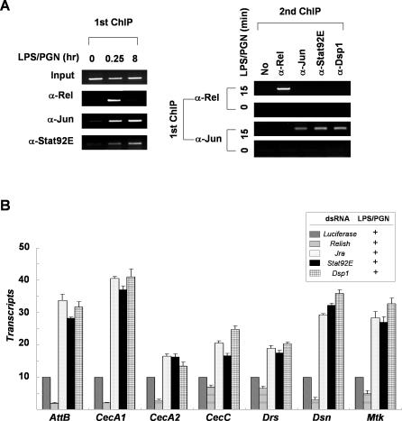 Relish Is Displaced from the Attacin-A Promoter by the Repressosome (A) Left panel: soluble chromatin extracts were prepared from <t>SL2</t> cells with (15 min or 8 h) or without (0 min) LPS/PGN treatment, and immunoprecipitated with antibodies against Relish, Jun, or Stat92E as described in Figure 3 . Right panel: double ChIP assays. The precipitates obtained from the first ChIP of cells with (15 min) or without LPS/PGN treatment were analyzed separately in a second ChIP with the antibodies indicated at the top (second ChIP). The amounts of Attacin-A promoter fragments co-precipitated with the indicated antibody are shown. (B) The transcript levels of each target gene are shown under Luciferase, Relish, Jra, Stat92E, or Dsp1 knock-down conditions with LPS/PGN treatment (10 μg/ml; 1h). The averages and standard deviations of triplicates assays are shown.