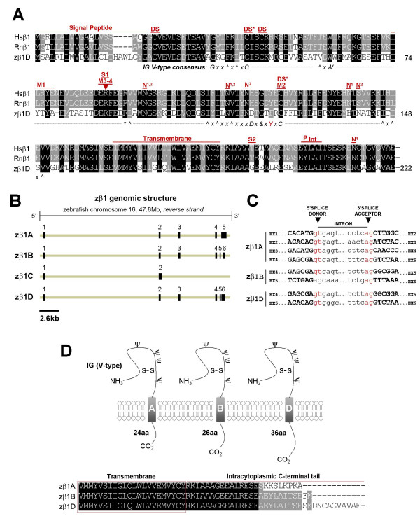 Analysis of the cloned zebrafish β1 subunit gene and novel splice variants . A) Alignment of cloned human, rat, and zebrafish β1 amino acid sequences. Black = identical in all three species; grey = identical in 2/3 species or conserved substitution. Shown for zebrafish is the most conserved β1 splice form (variant D). Hs = Homo sapiens , Rn = Rattus norvegicus , z = zebrafish; DS* = cysteine residue predicted to participate in a disulfide bridge, based on the myelin P0 protein crystal structure; DS = predicted second disulfide bridge; N = predicted N-linked glycosylation site (N1 = human/rat, N2 = zebrafish); M1 = site of epilepsy-causing deletion (I70_E74del) in Hsβ1; M2 = site of second epilepsy-causing mutation (C121W) in Hsβ1; M3/4 = site of third and fourth epilepsy-causing mutations (R85C, R85H); S1 = nonsynonymous Hsβ1 single nucleotide polymorphism (SNP, G/A > R85H); S2 = nonsynonymous Hsβ1 SNP (C/T > T189M); P = phosphorylation site (tyrosine Y181) that regulates ankyrin recruitment (NOTE: Y200 = Y181 following cleavage of 19 amino acid signal peptide); IN = putative internalization sequence. Consensus sequence for V-type IG domain is depicted beneath the alignment: G = glycine, x = any residue, ^ = hydrophobic residues, C = cysteine, - = gap in alignment with consensus sequence, W = tryptophan, * = basic residue, L = leucine, D = aspartic acid, = glycine, alanine, or aspartate, and Y = tyrosine. Red indicates zebrafish residues that deviate from the consensus sequence. See Results for references supporting sequence annotation. B) 5' and 3' RLM-RACE PCR and RT-PCR identified four distinct splice variants expressed from zβ1 locus on zebrafish chromosome 16 ( Ensembl ). C ) Splice donor and acceptor sites of zebrafish β1 splice variants, derived from comparing cloned cDNA against genomic DNA sequences ( Ensembl ). Consensus GT-AG splice sites are labeled in red. A splice-site deviating from the consensus appears in grey. D ) Schematic diagram of β1 splice var