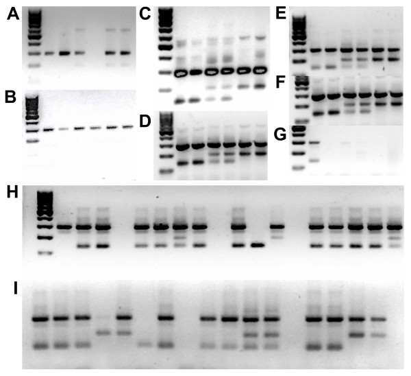 Examples of AS-PCR products for kdr -e and kdr -w genotyping . Gels A to D show examples of AS-PCR results using four different protocols, A [29], B [11], C [12], D [20]. Gels E to G show the result of using different DNA polymerases on the AS-PCR method described by [20], E: Promega PCR master mix, F: Qiagen HotStar Taq G:Finzymes Dynazyme II Gel H is an example of results of using the protocol of [20] with the Promega PCR master mix to genotype samples using the kdr -e assay from the 96 reference plate and gel I for the kdr -w assay. The same DNA templates were used in PCRs shown in gels A to G and from left to right were 100 bp DNA Ladder (Fermentas), homozygous wildtype, homozygous wildtype, heterozygous, heterozygous, homozygous mutant, homozygous mutant.