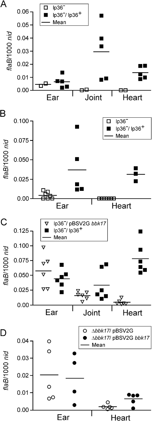 Quantitative assessment of spirochetal loads in infected mouse tissues A. DNA was isolated from ear, heart and joint tissues from a subset of RML mice that were reisolation-positive 7 weeks post feeding by larval or nymphal ticks infected with lp36-minus (□ lp36 - ) or lp36-minus/lp36-gent (▪ lp36–/lp36+) spirochetes. Samples were assessed for spirochete flaB and murine nidogen DNA copies by qPCR. The data are expressed as flaB copies per 1000 nidogen copies. Each data point represents the average of triplicate measures from the tissue DNA of an individual mouse. B. DNA was isolated from ear and heart tissues (joint tissue was not available from these experiments) from C3H/HeN mice that were reisolation-positive 4 weeks post inoculation with 1 × 10 7 or 1 × 10 8 lp36-minus (□ lp36 - ) or lp36-minus/lp36-gent (▪ lp36–/lp36+) spirochetes. Data shown are pooled data from individual mice inoculated with either 1 × 10 7 or 1 × 10 8 spirochetes. The data were collected and presented as described in A. C. DNA was isolated from ear, joint and heart tissues from C3H/HeN mice that were reisolation positive 6 weeks post inoculation with 5 × 10 3 lp36-minus/pBSV2G bbk17 (∇ lp36 - /pBSV2G bbk17 ) or lp36-minus/lp36-gent (▪ lp36–/lp36+) spirochetes. The data were collected and presented as described in A. D. DNA was isolated from ear and heart tissues (joint tissue was not available from these experiments) from C3H/HeN mice that were reisolation-positive 4 weeks post inoculation with 1 × 10 4 Δ bbk17 /pBSV2G (○) or Δ bbk17 /pBSV2G bbk17 (•) spirochetes. The data were collected and presented as described in A.