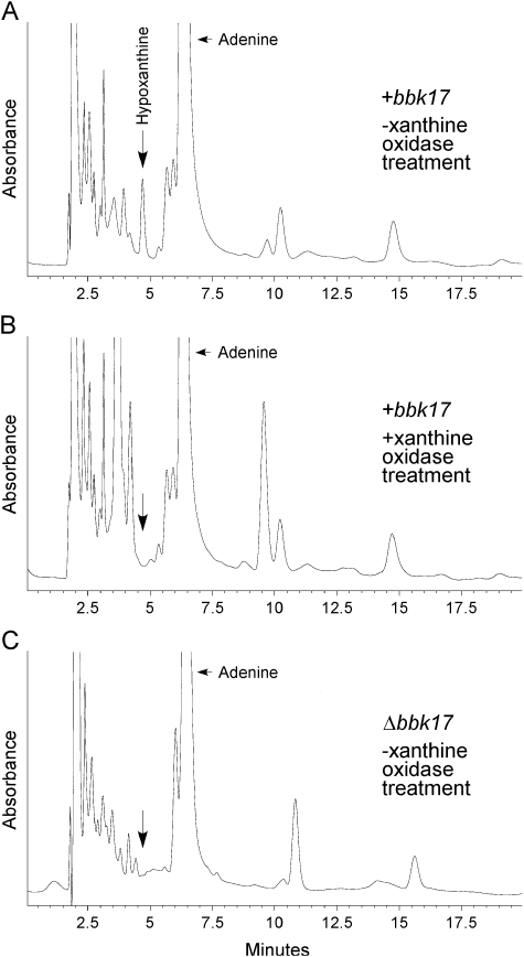 HPLC chromatograms of adenine deaminase enzyme assays from B. burgdorferi cell lysates containing or lacking bbk17 A. A representative chromatogram for a cell lysate of wild-type clone A3-M9 30 min after the addition of 0.3 mM adenine (+ bbk17 , –xanthine oxidase treatment). Excess adenine was detected as a peak at a retention time of 6.3 min, identical to that of the adenine standard (data not shown). Hypoxanthine production was detected as a peak at a retention time of 4.7 min, identical to that of the hypoxanthine standard (data not shown). Peak retention times are shown in minutes along the x -axis. B. No peak at a retention time consistent with hypoxanthine was detected in an identical A3-M9 cell lysate sample 30 min after the addition of 0.3 mM adenine treated with xanthine oxidase (+ bbk17 , +xanthine oxidase treatment), as indicated by an arrow. C. A representative chromatogram for a cell lysate of clone A3-M 9 Δ bbk17 :: flg p -kan /pBSV2G 30 min after the addition of 0.3 mM adenine (Δ bbk17 , –xanthine oxidase treatment). No peak at a retention time consistent with hypoxanthine was detected in the sample lacking the bbk17 gene, as indicated by an arrow.