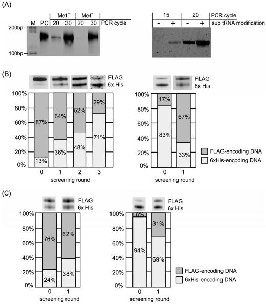 Results of the selective enrichment experiment. (A) Result of RT-PCR after single-round Ni-NTA screening of the mRNA-peptide fusion displaying 6x His-tag sequence. Left panel, RT-PCR of the screened samples translated with or without methionine. Right panel, RT-PCR of the screened samples translated using mRNA with or without modification of 4-acethyl-phenylalanyl tRNA Asn CUA before translation. Lane M: DNA ladder, Lane PC: positive control using mRNA before translation as template of RT-PCR. (B) Results of selective enrichment experiment for binary mixture: the FLAG-tag displaying fusion molecule and the 6x His-tag displaying fusion molecule. Initial molar ratio of the former to the latter is 87:13 for left panel and 17:83 for right panel. RT-PCR product at each screening round was analyzed by electrophoresis. Left panel; screening with Ni-NTA column. Right panel; screening with Anti-FLAG antibody column. (C) Results of selective enrichment experiment using PURESYSTEM for binary mixture: the FLAG-tag displaying fusion molecule and the 6x His-tag displaying fusion molecule. Initial molar ratio of the former to the latter is 76:24 for left panel and 6:94 for right panel. RT-PCR product at each screening round was analyzed by electrophoresis. Left panel; screening with Ni-NTA column. Right panel; screening with Anti-FLAG antibody column.