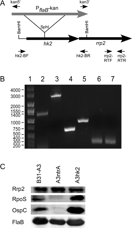 Construction of a B. burgdorferi hk2 mutant A. Schematic representation for inactivation of hk2 in B31-A3. hk2 and rrp2 are represented by black arrows as labelled. A DNA fragment harbouring hk2 was PCR amplified using hk2-BF and hk2-BR primers and insertionally disrupted at a unique SphI site with a kanamycin cassette (grey arrow) as described in the Experimental procedures section. Primers are denoted by short black arrows. B. Agarose gel patterns of PCR products for B31-A3 (lane 2) and A3 hk2 (lane 3) using the hk2-BF and hk2-BR primer pair. Disruption of hk2 by the kanamycin cassette resulted in an increased size PCR product (compare lanes 2 and 3). PCR products for the hk2-BF and kan5′ primer pair (lane 4), and the hk2-BR and kan3′ primer pair (lane 5), confirmed the orientation of the kanamycin cassette with respect to hk2 and rrp2 as diagrammed in panel A. RT-PCR analysis with the rrp2-RTF and rrp2-RTR primer pair confirmed the presence of rrp2 transcript in both B31-A3 (lane 6) and A3 hk2 (lane 7). Lane 1 contains DNA markers with the sizes indicated to the left. C. Immunoblot analysis of B31-A3, A3 ntrA and A3 hk2 grown to high cell density (2 × 10 8 cells ml −1 + 24 h). Whole-cell lysates of B. burgdorferi strains equivalent to ∼10 8 cells were separated on a 12% Tris-glycine gel, immobilized on a nitrocellulose membrane and probed with antiserum specific for the antigens indicated on the left. FlaB serves as a loading control to demonstrate equivalent protein amounts between samples.