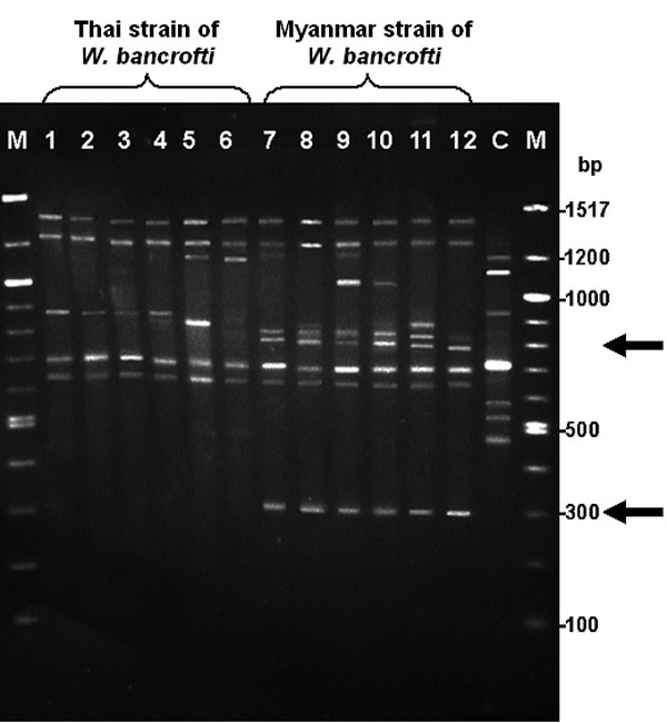 Random Amplified Polymorphic <t>DNA</t> <t>(RAPD)</t> profile of Thai and Myanmar strains of Wuchereria bancrofti . The RAPD profile of the Thai and Myanmar strains of W. bancrofti using Primer 1 (5'-dGGTGCGGGAA-3'): Lane M: 100 bp DNA marker; Lane 1–6: the Thai strain of W. bancrofti ; Lane 7–12: the Myanmar strain of W. bancrofti ; Lane C: Negative Control (uninfected human blood sample). The 300 bp and 795 bp fragments (arrows) are specific to the Myanmar strain of W. bancrofti . The 645, 705, 1290, and 1400 bp fragments were common in both the Thai and Myanmar strains of W. bancrofti .