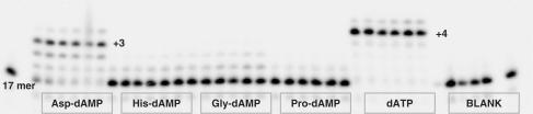 Primer extension with amino acid phosphoramidates by Therminator DNA polymerase. Reactions conditions: primer (P1) was 5′-labelled with 33 P followed by annealing to a template T3; 125 nM primer/template (P1/T3), [AA-dAMP] = 500 μM; [dATP] = 50 μM; [Therminator] = 8 × 10 −4 U/μl; time points: 5, 15, 30, 60, 90 and 120 min. Blank: 125 nM primer/template (P1/T3), [Therminator] = 8 × 10 −4 U/μl, no nucleotide substrate.