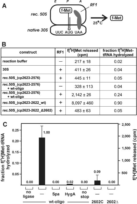 RF1-mediated peptide release activities of gapped-cp-reconstituted 50S subunits. (A) To measure peptidyl-tRNA hydrolysis activity, gapped-cp-reconstituted 50S (rec. 50S) were reassociated with native 30S subunits and programmed with an mRNA analog placing the stop codon UAA into the A-site. The peptidyl-tRNA analog f-Met-tRNA was bound to the P-site and the reaction initiated by the addition of RF1 from T. thermophilus . (B) The amount of hydrolyzed f-[ 3 H]Met-tRNA in the absence of ribosomal particles (reaction buffer), in the presence of the small ribosomal subunit (30S) or in the presence of 70S ribosomes containing native 30S and gapped-cp-reconstituted 50S after 30 min of incubation is shown. Gapped-cp-reconstituted 50S particles assembled from cp2623-2576 were tested in the absence and presence of the ligated 45-mer RNA fragment containing the wild-type sequence (+ wt oligo). 50S assembled form cp2623-2622 were assayed in the context of the wild-type sequence (cp2623-2622_wt) and in the context of the A2602 deletion mutant (cp2623-2622_Δ2602). RF1 was absent (−) or present (+) at a concentration of 0.8 µM. The mean and SD of released f-[ 3 H]Met from two representative experiments are shown (cpm) as well as the fraction of the 0.3 pmol input peptidyl-tRNA that was hydrolyzed are indicated. (C) Peptidyl-tRNA hydrolysis product yields of reconstituted 50S subunits that have been assembled from cp2623-2576 to which the compensating synthetic wild-type 45-mer RNA (wt-oligo) or the 2602C or 2602Δ variants have been ligated. The yield of f-[ 3 H]Met released by particles carrying the wt-oligo at the end of the reaction curve after 30 min of incubation has been taken as 1.00. The relative activities of gapped-cp-reconstituted 50S subunits carrying the ligated wt-oligo in the presence of antibiotics (sparsomycin: Spa; hygromycin A: HygA), or in the absence of an A-site-bound stop codon (no stop), as well as the activities of the two 2602 mutants are shown above the r