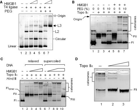 HMGB1 promotes intermolecular association of DNA. ( A ) Macromolecular crowding favors intermolecular ligase-mediated DNA end-joining by HMGB1. Linearized plasmid pTZ19R (∼15 nM) was pre-incubated with 0.5 μM (lanes 3 and 6) or 1.5 μM (lanes 4 and 7) HMGB1, and then treated with 0.2 U of T4 DNA ligase in the presence (lanes 6 and 7) or absence (lanes 3 and 4) of 5% polyethyleneglycol (PEG). L2, dimers; L3 trimers or higher multimers. Linear, linearized plasmid pBR322; circular, closed-circular plasmid pBR322. ( B ) HMGB1 promotes topo IIα-catalyzed interlocking of DNA into multimers (catenanes) in the presence of PEG. Supercoiled plasmid pTZ19R (∼15 nM, lane 1) was pre-incubated with HMGB1 (4.5 μM) in the absence or presence of PEG (as indicated), and treated with topo IIα (∼7 nM). ( C ) Both relaxed and supercoiled plasmid DNAs form multimers with HMGB1 and topo IIα. Relaxed or supercoiled plasmids pTZ19R (∼15 nM) were pre-incubated with 0.5 μM (lanes 3 and 7), 1.5 μM (lanes 4 and 8) and 4.5 μM HMGB1 (lanes 5 and 9) in the presence of 5% PEG, followed by treatment with topo IIα (∼7 nM). ( D ) DNA multimers formed by topo IIα and HMGB1 are catenanes. Reactions from (C) (lane 4) were deproteinized and treated with increasing amounts of topo IIα (10 and 20 nM, left to right) for 30 min at 37°C. Deproteinized samples in (A–D) were separated on 1% agarose gels, and the resolved DNA samples were visualized by ethidium bromide staining as detailed in Materials and Methods section. The gels are presented as negatives. FI, supercoiled plasmid DNA; FII, relaxed closed-circular plasmid DNA; FIII, linearized plasmid DNA ( Hin dIII).