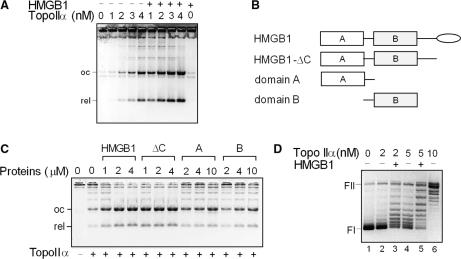 HMGB1 stimulates decatenation of kinetoplast DNA and relaxation of supercoiled DNA by topoisomerase IIα. ( A ) Decatenation of kinetoplast DNA (kDNA) by topo IIα is stimulated by HMGB1. kDNA (0.2 μg) was incubated with increasing concentrations of topo IIα (as indicated) in the absence or presence of HMGB1 (1 μM). ( B ) Domain structure of HMGB1, HMGB1-ΔC, HMGB1 lacking the acidic C-tail (depicted as oval); A, domain A; B, domain B. ( C ) HMGB1 stimulates decatenation of kDNA by topo IIα via the HMG-box domains. kDNA (0.2 μg) was incubated with topo IIα (2 nM) in the presence or absence of increasing amounts of HMGB1, HMGB1-ΔC, domain A or domain B (as indicated). ΔC, HMGB1-ΔC. ( D ) HMGB1 stimulates relaxation of negatively supercoiled DNA by HMGB1. Relaxation of negatively supercoiled pBR322 plasmid DNA (∼8 nM) by different concentrations of topo IIα (as indicated) in the presence or absence of recombinant HMGB1 (1 μM), 37°C for 45 min. Decatenation and relaxation assays were carried out in the absence of PEG. Deproteinized DNA samples were resolved on 1% agarose gels containing ethidium bromide (A and C) or without ethidium bromide (panel D). The gels are presented as negatives. FI, supercoiled plasmid DNA; FII, relaxed closed-circular plasmid DNA. oc, nicked closed-circular DNA minicircle; rel, relaxed closed-circular DNA minicircle.