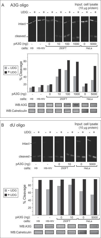 A Gel-Based Assay Reveals That Endogenous A3G in T Cell Lines Exhibits Unexpectedly Low Deaminase Activity Compared to Exogenous A3G in Transfected Epithelial-Derived Cell Lines (A) Deaminase activity was measured using an infrared 700 (IR700)–labeled oligo containing the A3G recognition site (CCC) either with or without exogenous recombinant uracil DNA glycosylase (+/- UDG). Oligos were incubated with crude cell lysates containing 10 μg of total cellular protein obtained from H9 cells, H9 cells expressing the HIV genome containing a deletion in Vif (H9-HIV), or from HeLa or 293FT cells transfected with the indicated amounts of A3G plasmid DNA (pA3G). Extent of oligo cleavage (indicating extent of deamination) was determined by gel electrophoresis followed by detection on a LI-COR scanner (top panel), and the percentage of probe cleaved was graphed (second panel). Below, equivalent amounts of cell lysate were analyzed in parallel by western blot (WB) to show A3G protein content. Western blot of calreticulin is shown as a loading control. (B) UDG activity was measured in select lysates from (A) using an IR700-labeled dU-containing oligo in the presence or absence of exogenous UDG (+/- UDG). Results are displayed as in (A) and show that unlike A3G activity shown in (A), UDG activity is similar in all cell lysates analyzed. All assays were performed on RNAse A–treated samples.