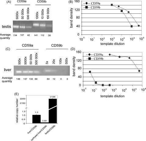Semi-quantitative RT-PCR to estimate relative expression of CD59a and CD59b in testis (A) and perfused liver (C). Different primer pairs for each isoform and different dilutions of the cDNA-templates (numbers above) were used. Thirty-five cycles were carried out and reaction products were separated in a 1% agarose gel. The average densitometric intensity for each band calculated from three independent experiments is given. Panels B and D present band intensity for CD59a (♦) and CD59b (■) as function of template dilution for testis and liver, respectively. (E) SYBR Green QPCR analysis of expression of CD59b in liver without and with perfusion using primers specific for CD59b. Number of the CD59b mRNA copies in liver (set as 1 for unperfused) was compared that in testis. Data are mean of two independent experiments ± S.E.M.
