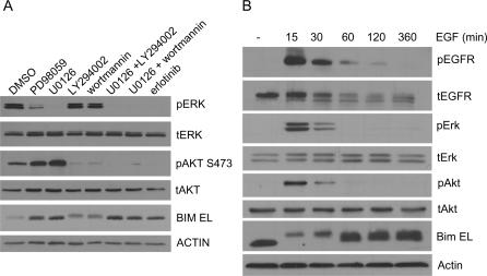 The Status of BIM Is Influenced by EGFR Signaling (A) BIM phosphorylation and protein levels are influenced by the ERK signaling pathway. H3255 cells were treated with a MEK inhibitor (PD98059, 50 μM; U0126, 10 μM), a PI3K inhibitor (LY294002, 50 μM; wortmannin, 100 nM every 2 h), both, or 100 nM erlotinib for 8 h. Cell lysates were analyzed by immunoblotting using the indicated antibodies. (B) NIH 3T3 cells transfected with wild-type EGFR cDNAs were serum-starved overnight and then stimulated with 100 ng/ml human EGF. After the indicated times, cells were harvested. Lysates were analyzed by immunoblotting, using the indicated antibodies. t, total protein; p, phospho-protein.