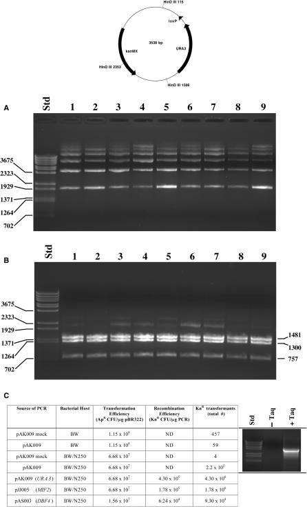 Plasmid re-circularization in pJBN250 transformed cells. Mutagenized PCR products from pAK009, (a pUNI10- URA3 derivative), were transformed into BW23474 cells harboring pJBN250. Plasmid DNA from nine Kn R transformants was analyzed before ( A ) or after ( B ) HindIII digestion, predicted to produce fragments of 1481, 1300 and 757 bp from correct recombinants (a map of the predicted recombinant is depicted above the gel panel). DNA was separated on 0.8% agarose gels and visualized by ethidium bromide staining. ( C ) Equal amounts of linearized pAK009 DNA (5 ng) were used as template for PCR reactions with or without (mock) Taq polymerase. The gel inset shows aliquots of the reaction products. Equivalent volumes of these reactions were transformed into BW23474 (BW) or BW23474/pJBN250 (BW/N250) strains, and dilutions were plated to calculate the total number of Kn R colonies. In the bottom three rows of the table, mutagenized libraries were constructed using pooled PCR reactions from pAK009, pJJ005 and pAS003 (pUNI10 derivatives containing the indicated S. cerevisiae genes) as described in Methods section. In these cases, the concentration of the pooled PCR reaction products was quantified, and used to calculate recombination efficiency by dividing the total number of Kn R colonies by the amount of PCR-amplified DNA used in the transformations. In all cases, transformation efficiency for circular plasmids was evaluated by determining the number of Ap R transformants obtained from a known amount of pBR322.
