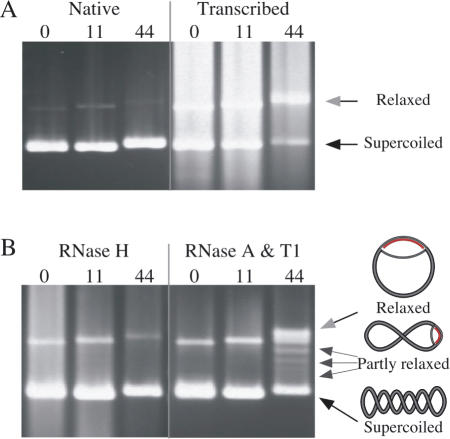 Transcription through a long GAA·TTC tract results in formation of an RNA·DNA hybrid. ( A ) The native gel mobility of supercoiled templates carrying 0, 11 or 44 GAA·TTC triplets is shown in the first three lanes and after transcription by T7 RNAP in the second three lanes. The RNA product partially obscures the templates. Gel mobilities of relaxed plasmids (gray arrowhead) and supercoiled plasmids (black arrowhead) are indicated. ( B ) Treatment with RNase H after transcription (first three lanes) returns the (GAA·TTC) 44  template to control mobility. Treatment with the single-strand-specific RNases A and T1 (last three lanes) reveals conformers of the (GAA·TTC) 44  template (small arrows) with mobilities approaching that of a fully relaxed template (gray arrowhead). The degree of relaxation reflects the length of the RNA·DNA hybrid, which unwinds negative supercoils as indicated in the schematic to the right of the arrows. In contrast, templates with 0 or 11 triplets retain the mobility of untranscribed controls, regardless of treatment.