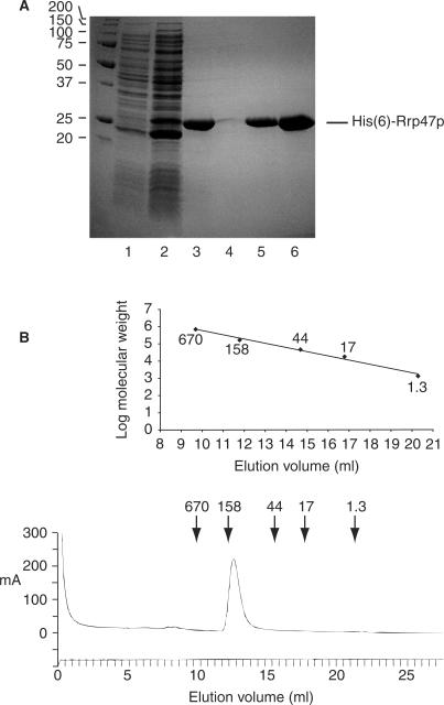 Rrp47p is a multimeric complex. ( A ) Recombinant His( 6 )-Rrp47p purification. Samples were resolved through a 15% SDS–PAGE gel and visualized with Coomassie blue G250. Lane 1, non-induced cell extract; lane 2, cell extract after 4 h induction; lane 3, Ni-NTA superflow eluate; lane 4, SP-sepharose non-bound fraction, lane 5, SP-sepharose eluate; lane 6, peak fraction from the superdex 200 GF column. The positions of molecular weight markers (in kDa) are indicated on the left. ( B ) Gel filtration analysis of the SP-sepharose retained fraction. The A 280 profile is shown, together with the elution volumes of the markers thyroglobulin (670 kDa), γ-globulin (158 kDa), ovalbumin (44 kDa), myoglobin (17 kDa) and vitamin B12 (1.3 kDa). The calibration curve obtained from the molecular weight markers is shown.