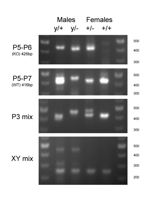 Electrophoretic analysis of genotyping PCR products . Genomic tail DNAs were prepared as detailed in the methods sections. 20 ng of the same DNA preparations of the four genotypes (KO male: y/- ; WT male: y/+; Heterozygote female: +/- ; WT female: +/+) were submitted to the different PCR amplification protocols detailed in the methods section, before loading on a 1.5% agarose gel.