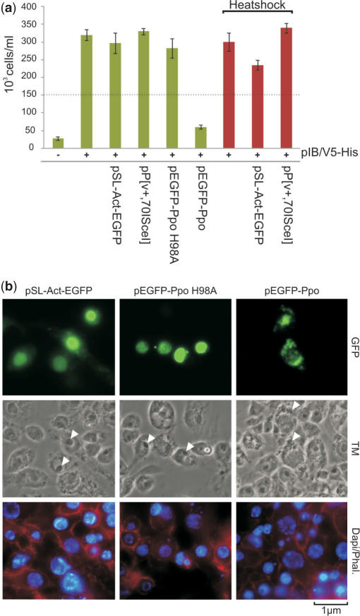 Cell proliferation analysis and morphology of I-PpoI and I-SceI expressing cells. ( a ) I-PpoI expression arrests proliferation of Sua 4.0 cells. Cells were co-transfected with HEG expression vectors and a GFP control in combination with pIB/V5-His which confers resistance to blasticidin and counted after 5 days of growth in medium supplemented with blasticidin S. Red bars indicate cells that were heat-shocked to induce expression of I-SceI. The dotted line indicates the 150 000 cells seeded for the experiment. ( b ) Sua 4.0 cells were transfected with pEGFP-Ppo, pEGFP-Ppo H98A and control pSL-Act-GFP. Forty-eight hour post-transfection, cells were fixed and stained with DAPI as well as phalloidin. White arrows indicate nucleoli of cells. TM, transmission.