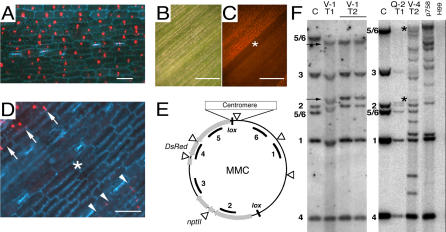MMC Gene Expression and Structure (A) Fluorescent detection of nuclear-localized DsRed in MMC1 maize leaf; size bar, 50 μm. (B, C) Detection of DsRed sectors in a T2 plant leaf from event V-1 under (B) bright-field and (C) fluorescence microscopy; size bars, 0.5 mm. (D) high magnification view of image shown in (C) with the corresponding sector, comprising all cell layers, indicated by an asterisk; the edge of a sector that comprises only the adaxial cell layer is indicated by arrowheads, cells with typical DsRed expression are indicated by arrows. Size bar, 50 μm. (E) MMC consisting of a pCHR758 backbone and a centromere-derived insert, gene expression cassettes (grey), centromeric inserts (box), BglII restriction sites (arrowheads), and probes used for FISH and Southern blot analyses are indicated. (F) Southern blot of DNA digested with BglII and hybridized to probes 1–6 (E); Bands 1–4 measure 2,067, 3,167, 5,227 and 790 bp, respectively; those hybridizing to probes 5 and 6 vary in size, depending on the location of BglII sites within the centromeric DNA insert. MMC1 Control (c, lanes 1 and 5) DNA was purified from E. coli and hybridization patterns were compared to DNA from plant cell extracts derived from MMC1 events V-1 (lanes 2–4), Q-2 (lane 6), and V-4 (lane 7), as well as from plants transformed with pCHR758 (lane 8) and untransformed wild type (H99, lane 9). For events V-1 and Q-2, bands differing from bacterial grown controls are indicated (arrows and asterisk, respectively).