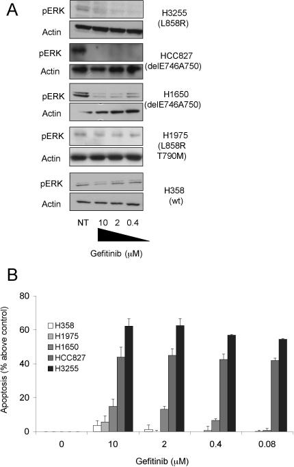 Effect of Gefitinib on NSCLC Cells Expressing WT or Mutant EGFR NSCLC cells expressing WT (H358) or mutant (HCC827, H1975, H1650, H3255) EGFR were treated with varying concentrations of gefitinib for 24 h (A) or 72 h (B). Cells were then either assessed for the phosphorylation status of ERK (A) or cell death (B). Western blotting (A) was performed to determine the phosphorylation status of ERK1/2 before and after treatment with gefitinib. An actin loading control is also shown. Cell death was assessed by Annexin V-FITC plus PI staining (B). Results represent mean ± standard error of the mean (SEM) of at least three experiments. NT, no treatment.