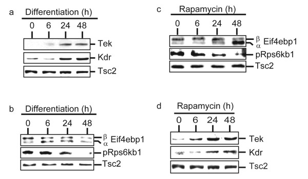 Phosphorylation of mTOR targets and expression of endothelial markers during differentiation and rapamycin treatment . At 0, 6, 24 and 48 hours after RoSH2 cells were induced to differentiate by plating on matrigel-coated plates or treated with 50 ηM rapamycin, the cells were harvested for western blot analysis and probed for a, d) endothelial markers, Tie-2 and Flk-1; b, c) Eif4ebp1 and phosphorylated Rps6kb1. Tsc2 protein was used as an internal control for loading between lanes and between blots.