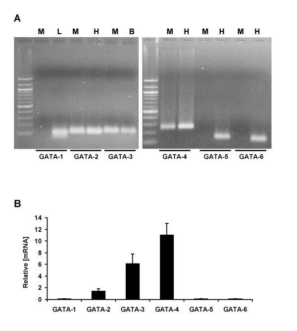 Muscle cells express GATA-2, -3 and -4 but not GATA-1, -5 and -6 transcripts . A. <t>RT-PCR</t> assays were performed with <t>RNA</t> preparations from differentiated C2C12 cells (M), using heart (H), liver (L) or brain (B) RNA preparations as positive controls. The primers used are indicated in the Method section. Note that muscle cells express GATA-2, -3 and -4 but not GATA-1, -5 and -6 transcripts. B. Relative mRNA expression levels of GATA transcripts were evaluated by quantitative real-time PCR, using cyclophilin A as an internal standard.