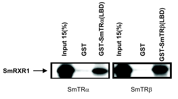 Protein-protein interaction of SmTRs with SmRXR1 . GST pull down shows that both SmTRα and SmTRβ can form a heterodimer with SmRXR1 in vitro . 35 S-labeled SmRXR1 was synthesized in vitro using pCITE-SmRXR1 as template and then incubated with GST-SmTRα(LBD), GST-SmTRβ(LBD) or GST (negative control) protein affixed to glutathione-Sepharose beads. The beads were collected, washed and the bound protein was resolved on 10% SDS acrylamide gel and visualized by autoradiography.