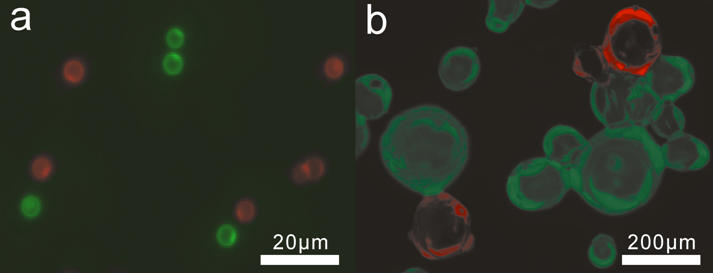 Fluorescence micrographs of labeled solid supports. (a) Diglycine GMA beads and (b) oligoglycine modified Affigel resin were separately labeled with EGFP and DsRed and then mixed. Fluorescence images were recorded as separate gray scale images (see Supplementary Figure S2 ) with FITC and Cy3 filter sets and then combined and false coloured.