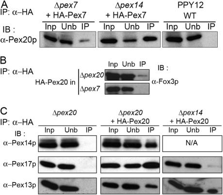 In vivo interaction of Pex20p with known peroxins and Fox3p. Immunoprecipitations (IP) were performed with the HA antibody (α-HA) on the indicated lysates and were immunoblotted (IB) with the indicated antibody. (A) Lysates of Δpex7 and Δpex14 cells expressing HA-Pex7p or of wild-type (WT; PPY12) cells. (B) Lysates of Δpex20 or Δpex7 cells expressing HA-Pex20p. (C) Lysates from Δpex20 cells or from HA-Pex20p–expressing Δpex20 and Δpex14 cells.