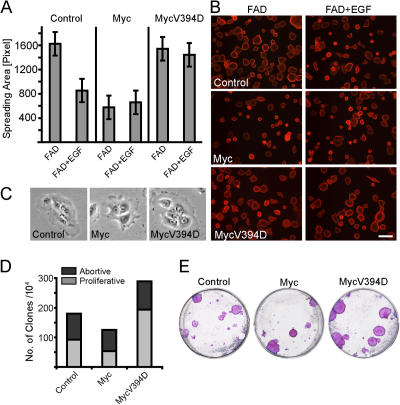 Comparison of the effects of MycER and MycV394DER activation on keratinocyte spreading and motility. 200 nM 4-OHT was added to all cultures 5 d before harvesting. (A and B) Spreading of cells transduced with pBabe (control), MycER, or MycV394DER in the presence or absence of EGF. (A) Quantitation of spreading area per cell. (B) Representative fields of cells labeled with rhodamine-conjugated phalloidin. Pictures were taken using a microscope with a 20× lens with a numerical aperture of 0.50. Bar, 100 μm. (C) Representative detailed fields of a frame from the time-lapse recording (Videos 1–3, available at http://www.jcb.org/content/full/jcb.200506057/DC1 ). Pictures were taken using IMT1 or IMT2 inverted microscopes (Olympus) equipped with monochrome charge-coupled device cameras and a 10× lens with a numerical aperture of 0.25. (D and E) Clonogenic assays of human keratinocytes infected with pBabe (control), MycER, or MycV394DER. Cells were seeded at clonal density and colonies were stained 2 wk later. (D) The absolute number of growing and abortive colonies after plating of 10 4 cells per 35-mm dish. (E) Representative dishes from the experiment shown in D.