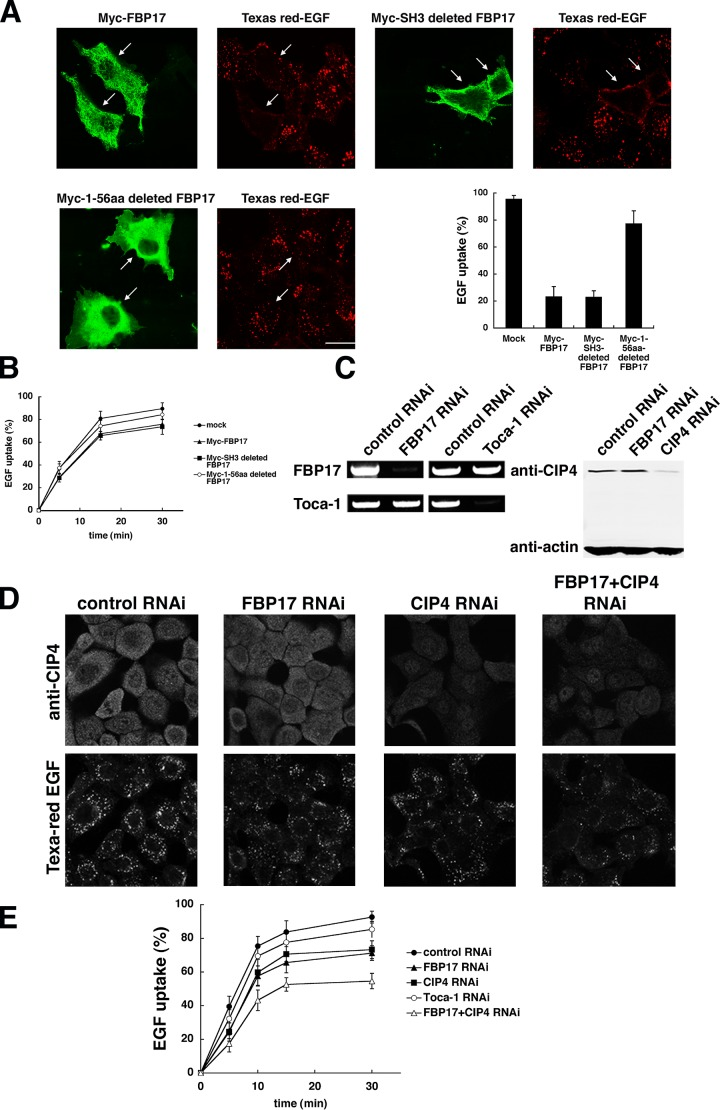 FBP17 is required for endocytosis of EGFR. (A) Myc-tagged wild-type FBP17, SH3 domain–deleted FBP17, and 1–56 aa–deleted FBP17 were transfected in COS-7 cells. After starvation for 16 h, the transfected cells were incubated with Texas <t>red–EGF</t> (red) for 15 min, fixed, and stained with anti-Myc antibody (green). The percentage of cells with internalized EGF among FBP17-overexpressing cells was also shown with SD. Bar, 20 μm. (B) Quantitative EGF internalization assay of FBP17-transfected cells. The histogram shows uptake of <t>biotinylated</t> EGF as a function of total bound biotinylated EGF at indicated times in transfected cells. Data from three independent experiments. Error bars represent SD. (C) A431cells were transfected with the control, FBP17, CIP4, and Toca-1siRNA. After 24 h, a second transfection was performed and the cells were cultured for an additional 72 h and subjected to RT-PCR and Western blotting. (D) After 96 h, the cells transfected with the siRNA were incubated with Texas red-EGF for 10 min, fixed, and stained with anti-CIP4 antibody. (E) Quantitative EGF internalization assay of siRNA-transfected cells as in B. Data from three independent experiments. All error bars indicate SEM.