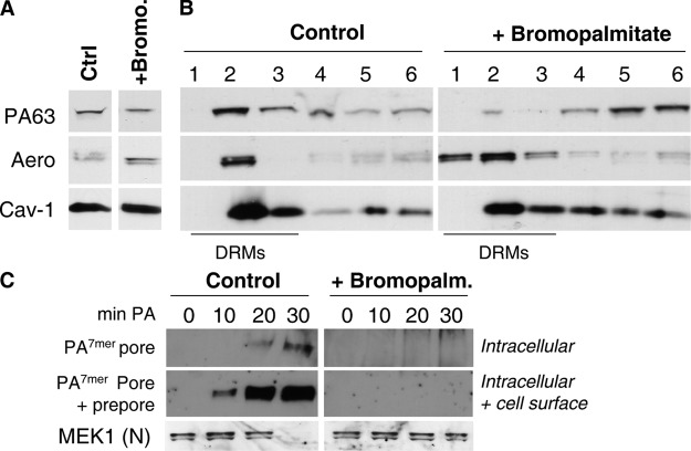 Palmitoylation events are required for DRM association and internalization of PA.  (A and B) Control BHK cells were pretreated or untreated with bromopalmitate and were incubated with 500 ng/ml nicked PA63 and 20 ng/ml aerolysin for 1 h at 4°C followed by 10 min at 37°C. (A) Cell extracts were submitted to SDS-PAGE followed by Western blotting to reveal PA63, aerolysin, and caveolin-1 (Cav-1). (B) Cells were solubilized in 1% Triton X-100, run on an OptiPrep gradient, and each fraction was analyzed by SDS-PAGE followed by Western blotting against PA, aerolysin, and caveolin-1. (C) BHK cells were pretreated with bromopalmitate and incubated with 500 ng/ml nicked PA63 for 1 h at 4°C followed by different times at 37°C. Cell extracts (40 μg of protein) were analyzed by SDS-PAGE and Western blotting to reveal the SDS-resistant PA 7mer  pore and MEK1 (NH 2 -terminal directed). To detect the prepore (SDS-sensitive nonmembrane-inserted PA 7mer ), cell extracts were submitted to an acid pulse before SDS analysis.