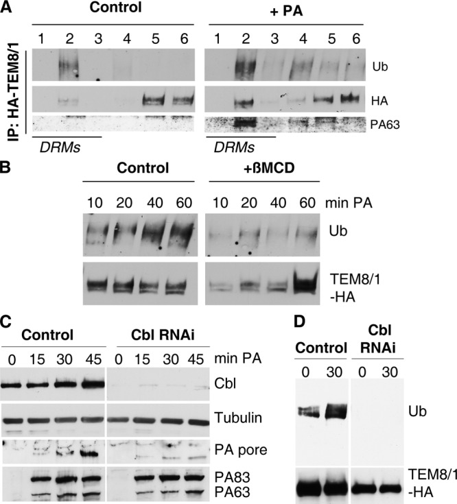 Endocytosis of anthrax toxin receptor requires DRM-mediated ubiquitination and the E3 ligase Cbl.  (A) CHO ΔATR  cells transfected for 48 h with WT TEM8/1-HA were incubated with 1 μg/ml PA83 for 1 h at 4°C followed by 40 min at 37°C, solubilized in Triton X-100 at 4°C, and separated on an OptiPrep gradient. TEM8/1-HA was immunoprecipitated from each fraction and analyzed by SDS-PAGE and Western blotting using anti-Ub, anti-HA, and anti-PA antibodies. (B) CHO ΔATR  cells transfected for 48 h with WT TEM8/1-HA were treated with βMCD to extract cholesterol, incubated with 1 μg/ml PA83 for 1 h at 4°C, and shifted for different times at 37°C. After immunoprecipitation with anti-HA beads, samples were analyzed by Western blotting using anti-Ub and anti-HA antibodies. (C) HeLa cells were transfected or untransfected with siRNAs against Cbl for 72 h and incubated with 500 ng/ml PA83 for different times at 37°C. Cell extracts were blotted for Cbl, tubulin (as an equal loading marker), and PA. (D) HeLa cells were untransfected or transfected with siRNAs against Cbl for a total of 72 h in total. 24 h later, these cells were additionally transfected with TEM8/1-HA for 48 h and incubated with 500 ng/ml PA83 for different times at 37°C. TEM8/1-HA was immunoprecipitated from each fraction and analyzed by SDS-PAGE and Western blotting using anti-Ub and anti-HA antibodies.