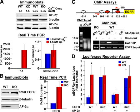 Regulation of EGFR gene expression by AP-2α. (A) Primary WT and AP-2α –null keratinocytes were cultured in rich medium (15% serum, growth factors, high density, and with feeder layer). When indicated, 1.5 mM Ca 2+ was added to induce terminal differentiation. Protein lysates and RNA were prepared after removal of the feeder cells by treatment with 0.1 mM EDTA. Immunoblots of keratinocyte proteins probed for AP-2α and AP-2γ are shown, along with real-time PCR of keratinocyte mRNAs tested for K1 and involucrin expression. Real-time data are normalized to 0.05 mM calcium (= 1). (B) Immunoblot analysis and real-time PCR of keratinocyte protein and mRNAs tested for EGFR expression. (C) Chromatin immunoprecipitation (ChIP). (top) Within 1.2 kb of sequence 5′ from the putative transcriptional initiation site of the mouse EGFR gene are four consensus AP-2–binding sites (ovals), two of which are conserved (in red). ChIP, WT, and KO keratinocytes were either treated or not treated with formaldehyde to transiently cross-link proteins to chromatin. Both cross-linked and noncross-linked chromatin was isolated and sheared to ∼400-bp fragments. Immunoprecipitations were then performed using anti-AP2α or no antibody or control IgG antisera. PCR analyses on the immunoprecipitated fragments were performed using primers encompassing the putative AP-2–binding sites located within the EGFR promoter (marked on the diagram). Note that only the combination of formaldehyde cross-linking and the application of anti–AP-2α antibody specifically immunoprecipitated AP-2α site-containing EGFR promoter sequences in WT and not in KO keratinocytes. (D) Luciferase assays of EGFR promoter activity in primary WT or KO mouse keratinocytes ± infection with the AP-2α–expressing retroviral vector (see Separation of epidermis…transfections). 1.2 kb of sequence 5′ from the transcription initiation site of the EGFR promoter (see C) was used to drive firefly luciferase expression (pEGFRpr-Luc). pMutEGFRpr-luc 