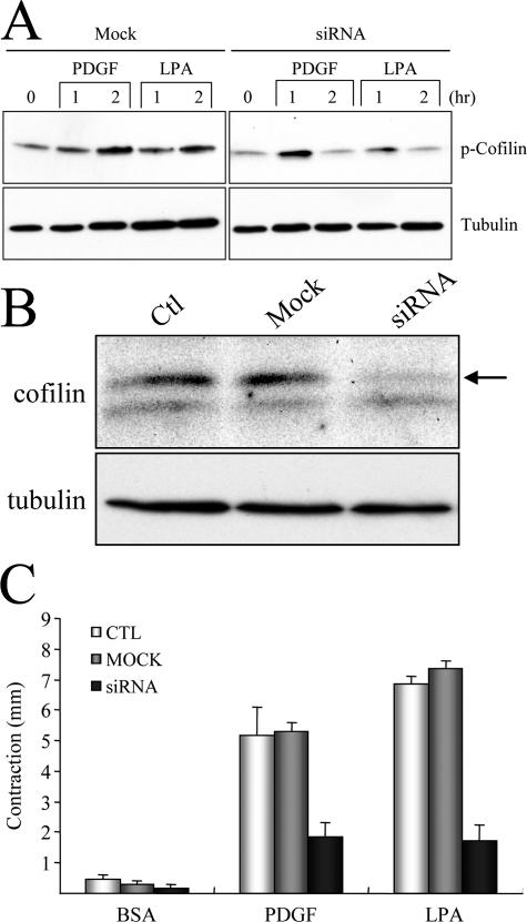Cofilin1 is downstream of PAK1 in LPA and PDGF regulation of collagen matrix contraction. (A) PAK1-silenced and mock-transfected cells were harvested and used to prepare floating collagen matrices. Samples were incubated for the times shown in DME containing 5 mg/ml BSA and 50 ng/ml PDGF or 10 μM LPA, as indicated. At the end of the incubations, extracts of the samples were prepared and subjected to immunoblotting with antibodies directed against phospho-cofilin1 and tubulin. (B) Cells were transfected for 36 h with 500 nM of cofilin1 siRNA or sense RNA only (Mock) and then cultured an additional 24 h in growth medium without siRNA. Extracts were prepared and subjected to SDS-PAGE and immunoblotted to analyze levels of cofilin1 (arrow) and tubulin. (C) Nontransfected (CTL), cofilin1-silenced, and mock-transfected cells were harvested and used to prepare floating collagen matrices. Samples were incubated for 4 h in DME with 5 mg/ml BSA and 50 ng/ml PDGF or 10 μM LPA added as shown. At the end of the incuba-tions, samples were fixed and the extent of matrix contraction was meas-ured as the decrease in matrix diameter. Data shown are arithmetic means ± SD for three separate experiments.