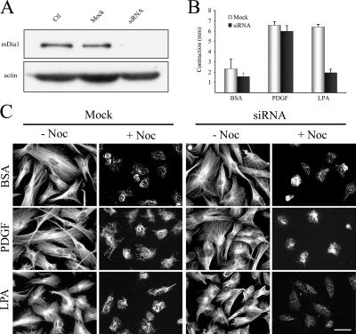 mDia1 cooperates with PAK1 in LPA regulation of collagen matrix contraction silencing in human fibroblasts. (A) Cells were transfected for 12 h with 700 nM siRNA or sense RNA only (Mock) and cultured an additional 24 h in growth medium without siRNA. Extracts were prepared and subjected to SDS-PAGE and immunoblotted to analyze levels of mDia1 and actin. (B) mDia1-silenced and mock-transfected cells were harvested and used to prepare floating collagen matrices. Samples were incubated for 4 h in DME with 5 mg/ml BSA and 50 ng/ml PDGF or 10 μM LPA added as shown. At the end of the incubations, samples were fixed, and the extent of matrix contraction was measured as the decrease in matrix diameter. Data shown are arithmetic means ± SD for three separate experiments. (C) At the end of the transfection period, mock- and siRNA-transfected cells were incubated in serum-free medium for 36 h, followed by 4 h in DME with 5 mg/ml BSA and 50 ng/ml PDGF or 10 μM LPA added as shown. Stable microtubules were detected as previously described ( Gundersen et al., 1994 ; Cook et al., 1998 ). Subsequently, the indicated samples were treated with 2 μM nocodazole for 2 h . After two rinses with microtubule-stabilizing buffer (MSB; 85 mM Pipes, pH 6.9, 1 mM EGTA, 1 mM MgCl 2 , 2 M glycerol, 1 μg/ml leupeptin, 1 μg/ml pepstatin A, and 1 mM 4-(2-aminoethyl)-benzenesulfonyl fluoride), samples were treated with 1 ml of MSB containing 200 μg/ml saponin for 5 min at 37°C to extract tubulin monomer, rinsed with MSB, and fixed with methanol (−20°C) for 10 min, and then stained with anti-tubulin antibody. Bar, 50 μm.