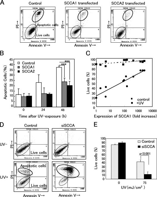 Overexpression or down-regulation of SCCAs significantly affected UV-induced apoptosis. (A) FACS analyses of apoptotic cells using SCCA1- or SCCA2-transfected 3T3/J2 cells, 48 h after UV irradiation (30 mJ/cm 2 ). Cells were stained with FITC-conjugated Annexin V and propidium iodide. (B) Analyses of five experiments are summarized. (C) 12 clones whose expression levels of SCCA1 <t>mRNA</t> distributed from 1 to 2,772-fold were established. Using these clones, the effects of UV irradiation were examined. Cells were harvested 48 h after UV irradiation (50 mJ/cm 2 ) and FACS analyses were performed. The antiapoptotic activity correlated with SCCA1 expression. r = 0.734. (D) Using pSilencer vector, an <t>siRNA</t> construct targeted to a homologous sequence of SCCAs was stably transfected into HaCaT keratinocytes. Typical FACS analyses of nonirradiated (UV−) and UV-irradiated (UV+) siSCCA/HaCaT cells were shown. Apoptotic cells were analyzed 48 h after UV irradiation (75 mJ/cm 2 ). (E) Statistical analyses of five experiments. Error bars represent the mean of five wells ± SD.