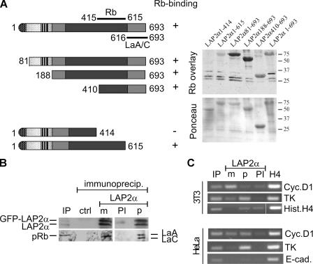 LAP2α binds to Rb at its COOH terminus and associates with Rb, lamin A/C, and E2F promoter sequences in vivo. (A) Schematic drawing of LAP2α and LAP2α fragments used for binding studies and localization of molecular domains and interaction regions with Rb and lamins A/C in the polypeptide. Numbers denote amino acid positions; +, interaction; −, no interaction of respective LAP2α fragments with Rb. Light gray boxes denote the constant LAP2 regions, including LEM-like and LEM domains (hatched). Medium gray denotes the α-specific region, whereas dark gray indicates the chromatin interaction domain. On the right, in vitro–translated 35 S-labeled Rb was overlaid onto transblotted recombinant LAP2α fragments. A Ponceau S stain of the respective blot and an autoradiogram of the overlay are shown. Numbers on the right indicate molecular masses in kD. (B) HeLa cells stably expressing LAP2α-GFP were fixed in formaldehyde, mechanically lysed by sonication, and LAP2α was immunoprecipitated using monoclonal (m) or polyclonal (p) antibody to LAP2α. Control precipitations were performed with antibody-free medium (ctrl) and with preimmune serum (PI). Immunoblots of immunoprecipitates and respective inputs (IP, diluted 1:10) with antiserum to LAP2α, Rb, or monoclonal antibody to lamin A/C are shown. (C) Chromatin immunoprecipitation was performed from HeLa and 3T3 cells using monoclonal and polyclonal antibody to LAP2α, preimmune serum, or anti-acetylhistone H4 (H4), and E2F-dependent promoter sequences in the cyclin D1 and thymidine kinase (TK) genes were amplified by PCR. As a negative control, the presence of histone H4 or E-cadherin promoter sequences was tested. Ethidium bromide–stained DNA fragments in agarose gels are shown. IP, 1% input.