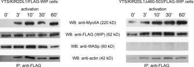 Actin and myosin IIA interaction with WIP is independent of WASp. YTS/KIR2DL1 cells were transfected with FLAG-WIP or FLAG-WIPΔ460-503, which is a mutant protein lacking the WASp binding domain. Transfected cells were mixed with 721.221 cells and incubated for the indicated times at 37°C. Cell lysates were immunoprecipitated with anti-FLAG mAb. Immunoprecipitated proteins were immunoblotted with anti–myosin IIA, anti-FLAG, anti-WASp, or anti-actin antibodies. The molecular masses of the proteins according to their position relative to molecular mass markers are shown in parentheses. The absence of WASp does not affect recruitment of either actin or myosin IIA to the complex.