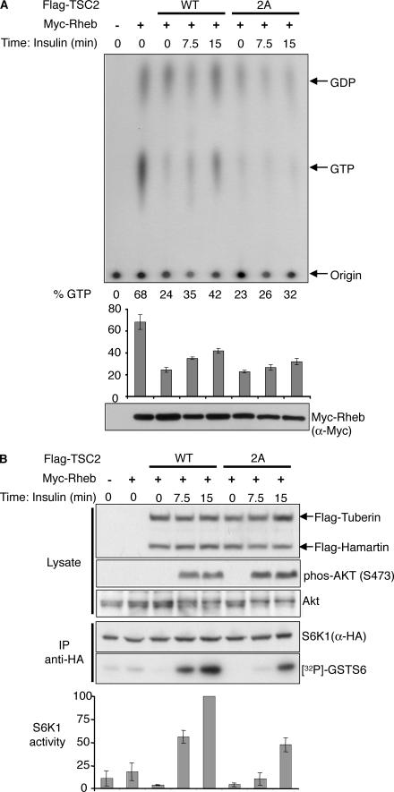 AKT phosphorylation of tuberin promotes Rheb-induced S6K1 activation through increased Rheb-GTP loading. (A) HEK293 cells coexpressing HA-S6K1, Myc-Rheb, Flag-TSC1, and either Flag-TSC2-WT or Flag-TSC2-2A (S939A and S981A) were serum starved and, where indicated, the PI3K–AKT signaling pathway was stimulated with 100 nM insulin for 7.5 and 15 min. These cells were subjected to in vivo radiolabeling, and the level of guanine nucleotide bound to immunoprecipitated Myc-Rheb was quantified. A representative blot from three independent biological replications is shown. The mean of the percentage of total Myc-Rheb bound to GTP (active state) is shown in the bar figure. (B) In parallel, HEK293 cells treated as in A were subjected to S6K1 activity assays. HA-S6K1 used in the activity assay was analyzed with an anti-HA antibody. 32 P-incorporation into GST-S6 substrate was quantified using a phosphorimager, and the fold activation of S6K1 is graphed. Protein levels of Flag-TSC1, Flag-TSC2, and AKT, and level of AKT phosphorylation at S473, were determined using Western analyses.