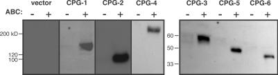 CPG-1 through -6 behave as CSPGs in COS-7 cells. CPG-1 through -6 were expressed as Myc-tagged recombinant proteins in COS-7 cells. Proteoglycans from conditioned media were purified by anion-exchange chromatography (see Materials and Methods). Samples were digested with chondroitinase ABC (+) or left untreated (−), separated by SDS-PAGE, and Western blotted with an anti-Myc mAb.