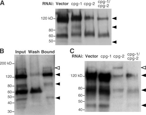 CPG-1 and -2 bind chitin and exist as CPGs in vivo. (A) Proteoglycan extracts of vector and RNAi-treated animals were digested with chondroitinase ABC, analyzed by SDS-PAGE, and Western blotted with the 1B5 mAb that recognizes the chondroitin stub remaining after enzyme digestion. cpg-2(RNAi) reduced the bands at 120, ∼80, and ∼45 kD (arrowheads). (B) 20 μg of total worm extract (input) was incubated with chitin beads. Four bands specifically bound chitin (arrowheads), but the 60-kD band did not. (C) Proteoglycan extracts from RNAi-treated animals were enriched by affinity chromatography on chitin beads. cpg-1(RNAi) reduced the band at ∼150 kD (open arrowhead), whereas cpg-2(RNAi) reduced the bands at 120, ∼80, and 45 kD (filled arrowheads).