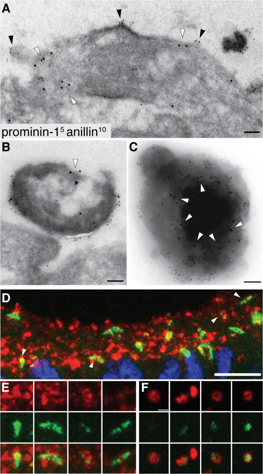 Anillin is present not only in prom1-bearing midbodies but also in prom1-bearing lumenal particles. (A and B) Transverse ultrathin cryosections of the apical surface of E10.5 mouse telencephalic neuroepithelium double immunogold labeled for prom1 (5 nm) and anillin (10 nm; white arrowheads). Doubly immunoreactive midbody (A) and particle at the apical surface of the neuroepithelium (B). Black arrowheads indicate prom1-labeled regions at the lumenal plasma membrane of the midbody. (C) Double immunogold labeling for prom1 (5 nm) and anillin (10 nm; white arrowheads) of a particle from the P2 pellet of E11.5 neural tube fluid. (D–F) Transverse cryosections of E11.5 (D and E) and E10.5 (F) mouse telencephalon double immunostained for prom1 (red) and anillin (green) and analyzed by confocal microscopy. (D and E) Z-stack projection providing an en face view onto the apical surface of the neuroepithelium; for orientation, the DAPI staining of nuclei (blue) is shown for one of the optical sections in D. (E) Selected regions of D (indicated by arrowheads) at higher magnification. (F) Four examples of prom1-bearing particles in the lumen of the telencephalic ventricle (z-stack projection). Bars: (A–C) 100 nm; (D) 10 μm; (F) 1 μm.