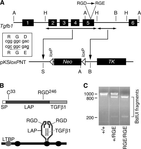 Generation of mice with a targeted mutation of Tgfb1 . (A) Schematic of Tgfb1 (top) and fragments thereof used for insertion in targeting vector (bottom). Box shows mutations (solid underlines) introduced in exon 5 to encode a BstUI restriction site (dashed underline) and the D-to-E mutation. Restriction sites: A, ApaI; B, BamHI; H, HindIII; S, SalI. Neo , neomycin resistance cassette; TK , thymidine kinase cassette. (B) The TGFβ1 mRNA encodes a protein sequence consisting of a signal peptide (SP), propeptide (LAP), and the TGFβ1 cytokine (top). The integrin-binding motif RGD is near the C terminus of LAP. The processed latent factor consists of noncovalently associated disulfide-linked homodimers of the LAP and TGFβ1 monomers (bottom). LAP can be disulfide linked via cys-33 to one of the cysteine-repeat domains (ovals) of LTBP-1, -3, or -4. (C) PCR genotyping results from Tgfb1 +/+ , Tgfb1 +/RGE , and Tgfb1 RGE/RGE mice.