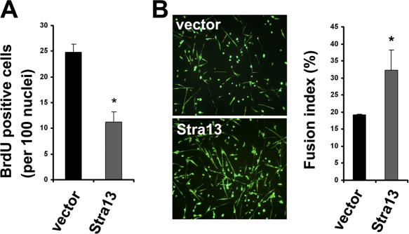 Reexpression of Stra13 in Stra13 −/− myoblasts rescues the proliferation and differentiation defect. Stra13 −/− myoblasts were transduced with retrovirus expressing Stra13 (pBabe-Stra13) or with vector alone (pBabe). After selection, infected cells were either pulsed with BrdU and analyzed for cell proliferation (A) or changed to differentiation medium for 4 d and analyzed for myotube formation by MHC staining (B). The fusion index was calculated as described in Materials and methods. Data are means ± SEM (error bars). * , P