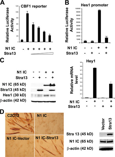 Stra13 inhibits Notch signaling. (A) 100 ng of a CBF-1 reporter construct was transfected in 10T1/2 cells along with 10 ng N1IC in the absence or presence of increasing amounts of Stra13 (10, 25, 50, and 100 ng). (B) 100 ng Hes-1 promoter was transfected with 10 ng N1IC in the absence or presence of 100 ng Stra13. Reporter assays were repeated at least three times, each with duplicates. Data are means ± SEM (error bars). (C) 10T1/2 cells were transfected with vector (pCS2), Stra13, N1IC, or both N1IC and Stra13. The expression of Stra13, N1IC, and Hes1 was detected by Western blotting (left). Hey1 mRNA level was analyzed by quantitative PCR (right). (D) Control C2C12 cells or stable cell lines expressing Notch (C2C12-N1IC) were stained for MHC 4 d after culturing in differentiation medium. C2C12-N1IC cells were blocked in myogenic differentiation. C2C12-N1IC cells were transduced with an empty retroviral vector (Babe) or one expressing Stra13 and stained for MHC after 4 d in differentiation medium (left). The expression of Notch and Stra13 was detected in N1IC-vector and N1IC-Stra13 cell lines by Western blot analysis (right).