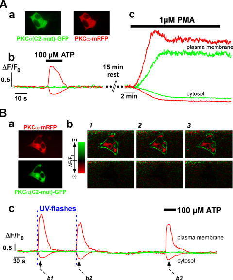 Role of the C2 domain on translocation properties of PKCα. HEK293 cells were cotransfected with plasmids coding for PKCα(C2-mut)-EGFP and PKCα(WT)-mRFP. (A) Depicts results in cells stimulated with 100 μM <t>ATP</t> (A, b) and 1 μM <t>PMA</t> (A, c). Green (EGFP fusion protein) and red (mRFP fusion protein) traces depict the time course of fluorescence derived from the plasma membrane (top traces) and cytosol (bottom traces) during the stimulation regimes. Similar results were obtained in 16 independent experiments ( n = 51 cells). (B) Translocation responses of WT and C2-mutated PKCs to flash photolytic increases in Ca 2+ . Cells were loaded with caged Ca 2+ NPEGTA-AM. B (a) depicts the resting fluorescence of the two PKC constructs, as indicated. B (c) shows the time course of the plasma membrane (top traces) and cytosolic (bottom traces) fluorescence changes of the EGFP construct containing the mutated C2 domain (green) and the WT-mRFP (red). The time points of the UV flashes are indicated by the two blue vertical dashed lines. For the three time points depicted in B (c) by the dashed black arrows, the relative changes of the fluorescence have been replotted in B (b). The color-coded images (see color wedge attached) for the WT (top row) and mutated PKC (bottom traces) are shown. Similar results were obtained in 14 independent experiments ( n = 33 cells).